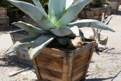 Agave_guiengola_3