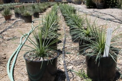 agave_geminiflora_2