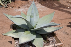 agave_guiengola_2