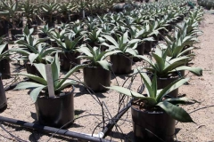 agave_ovatifolia_2