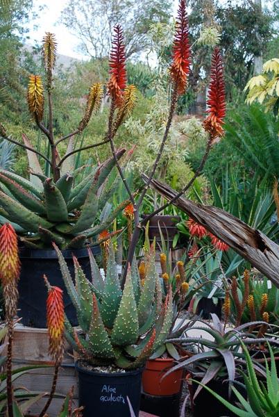 Aloe Gallery