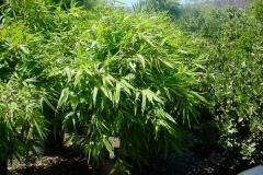bambusa_edulis