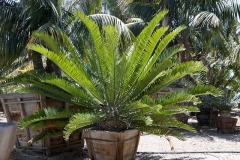 Encephalartos altensteinii 2