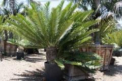 Encephalartos altensteinii 3