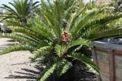 Encephalartos natalensis 2