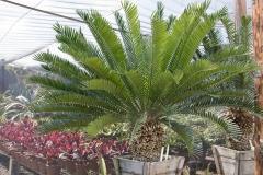 Encephalartos altensteinii 1