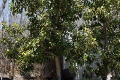 Ficus_altissima