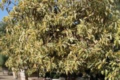 Ficus_decora