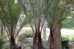 dypsis_decaryi