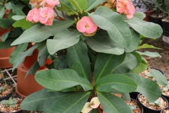 Euphorbia_milli_tropical_fiesta