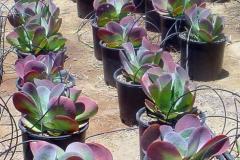 kalanchoe_thrysiflora