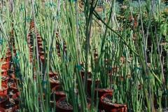 pedilanthus_macrocarpus