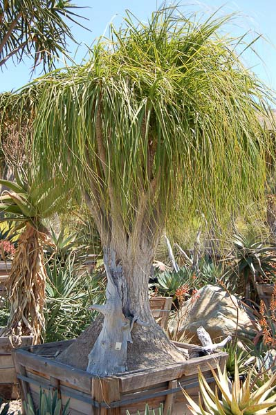 Tropical plants gallery for Beaucarnea recurvata