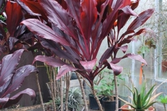cordyline_Ti_Ruby