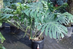 philodendron_monstera_deliciosa