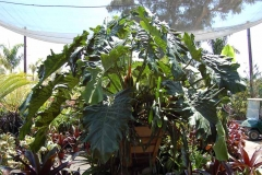philodendron_evansii