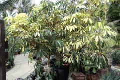 tupidanthus_calyptratus_variegated