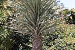 Yucca_carnerosana