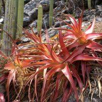 Hechtia species nova Oaxaca