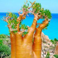 Socotra Adenium Socotrana