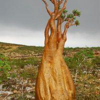 Socotra Adenium Socotranum