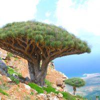 Socotra Dracena Cinnabari