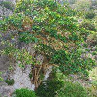 Ficus Vasta Socotrana