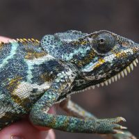 Furcifer from Socotra
