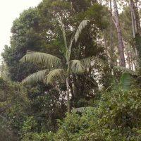 Madagascar Dypsis ifanadianae
