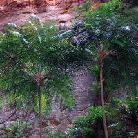 Madagascar Ravenea Glauca