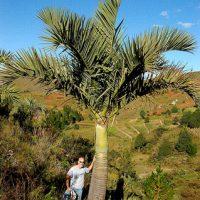 Madagascar Dypsis Decipiens