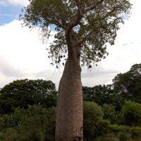 Madagascar Adonsonia za