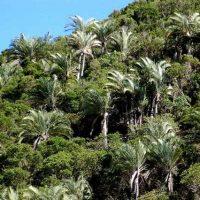 Madagascar Dypsis Decaryi