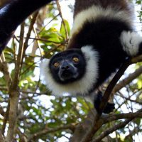 Madagascar Black & White Lemur