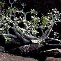 Madagascar Pachypodium